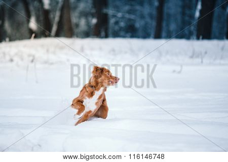 Dog Nova Scotia Duck Tolling Retriever  Walking In Winter Park
