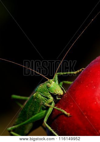 a single grasshopper on a red apple