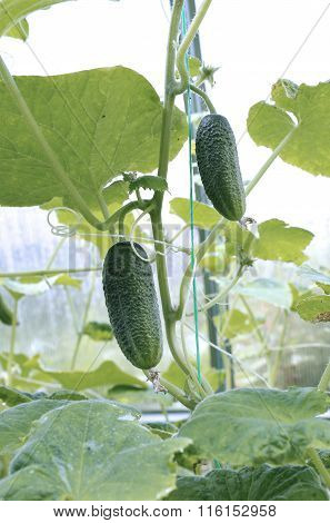 Cucumber Plant In A Greenhouse