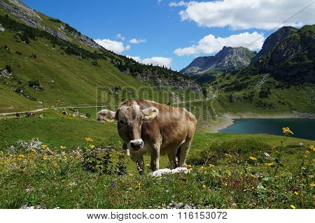 Cow on alpine wild flower pasture