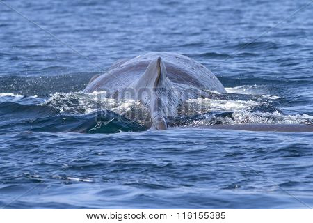 Back And Dorsal Fin Of A Sperm Whale Before A Dive