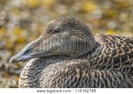 Eider duck female on a seaweed covered rock close up