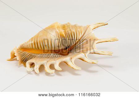 Sea Shell Souvenir