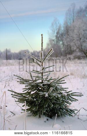 Small Evergreen Christmas Tree
