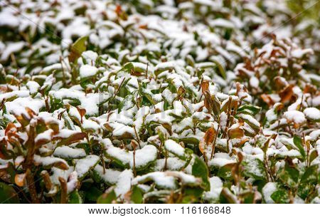 Fresh white snow accumulated on the leaves