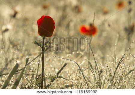red dew flower