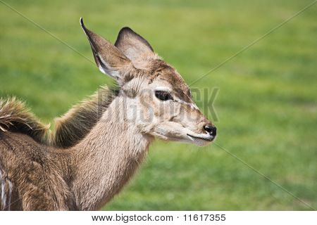 Greater Kudu Calf