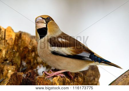 The Female Grosbeak Sitting On A Branch In Winter