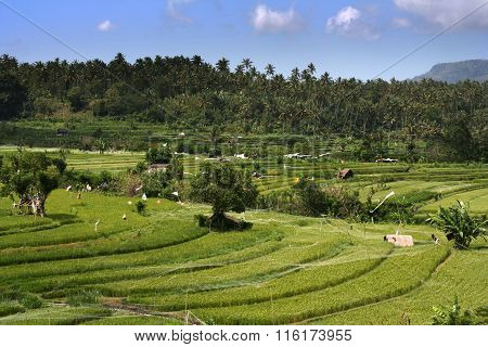 Rice Field Landscape With Trees And Palms On A Sunny Day. Tenganan Bali