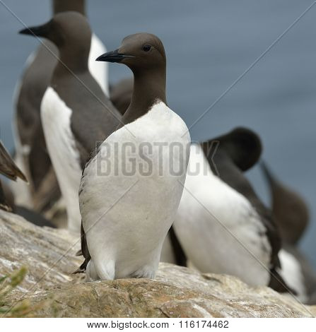 Guillemots Or Common Murre