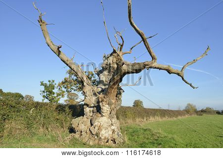 Old Pedunculate Oak Tree