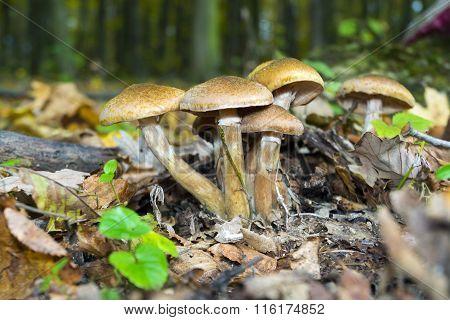 Armillaria Mellea