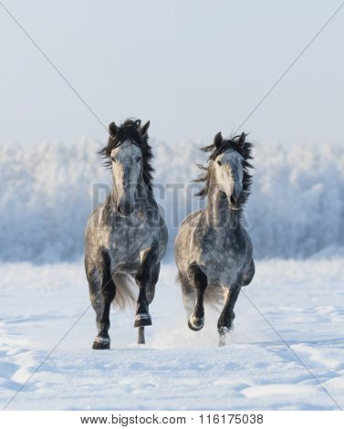Two galloping Andalusian horses. Left horse are in focus.