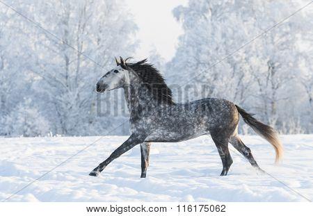 Dapple-grey horse run gallop in winter