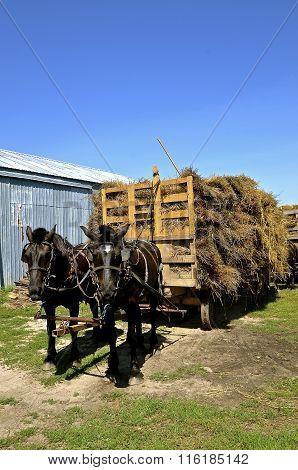 Horses pulling a load of oat bundles