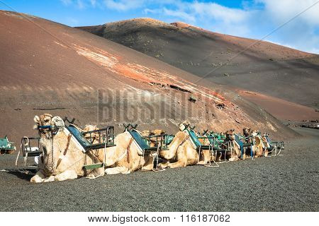 Caravan Of Camels In The Desert On Lanzarote In The Canary Islands. Spain
