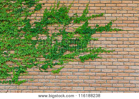 Creeping Plant On Red Brick Wall