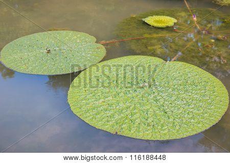 Lotus Leaf Floating In The Pool.