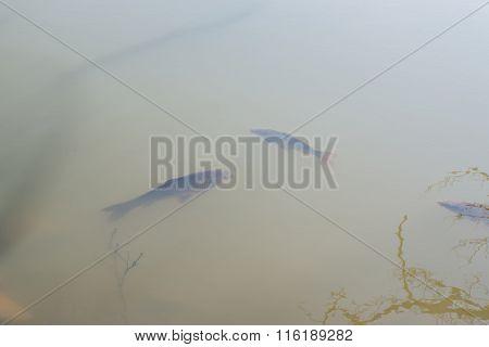 Fish Swimming In Freshwater