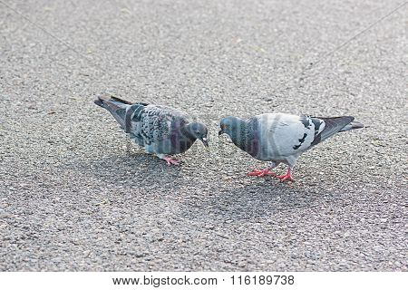 Two Pigeons Find Food On A Street.