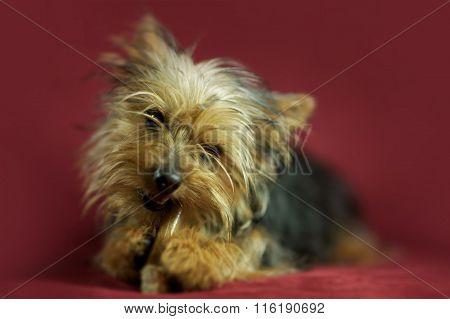 Puppy Dog Silky Terrier