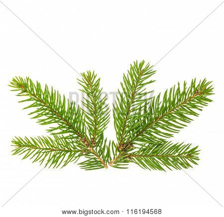 Spruce Branches Isolated On White Background