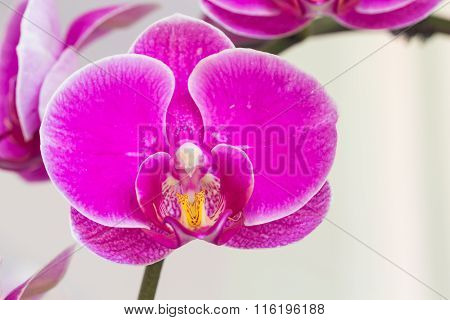 Close Up Purple Orchid Flower Background,selective Focus