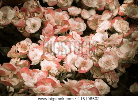 Selective Focus Of Colorful Begonia Flowers With Water Spray ,selective Focus,vintage Toning