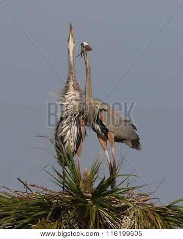 Great Blue Herons Engaged In Courtship Behaviour - Florida