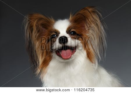 Closeup Portrait Of Satisfied White Papillon Dog On Black