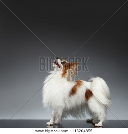 White Papillon Dog Stands And Looking Up On Black