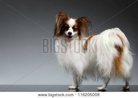 White Papillon Dog Stands And Looking Back On Black