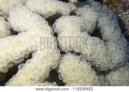 Coral Reef With Grape Coral At The Bottom Of Tropical Sea, Underwater