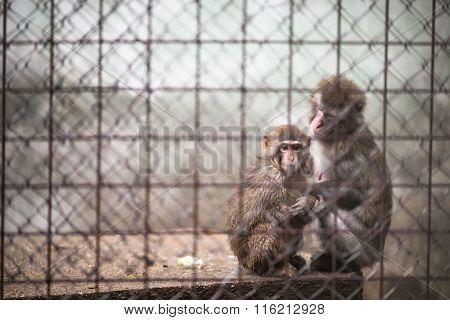 Sad monkeys behind bars in captivity