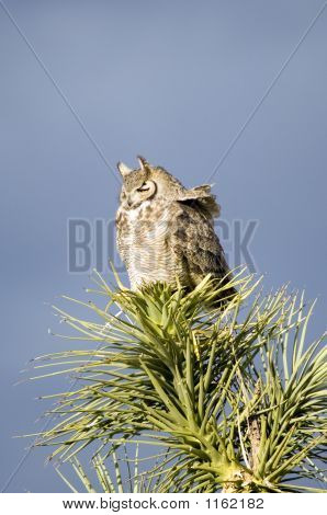 Great Horned Owl Desert Phase