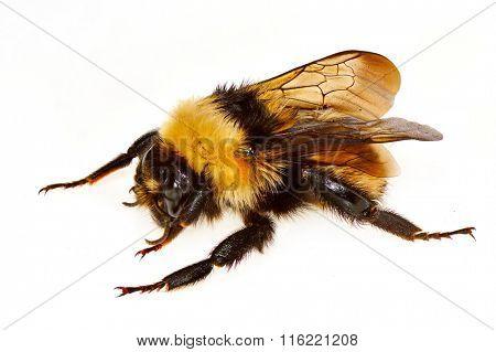 bumblebee isolated on white background (bombus)