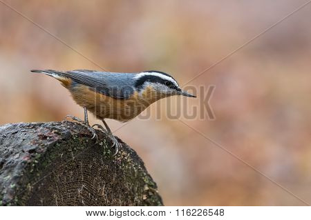 Red-breasted Nuthatch Male, Sitta Canadensis