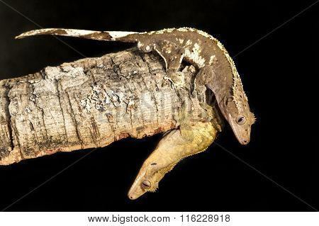 Couple Of New Caledonian Crested Geckos On A Tree Trunk