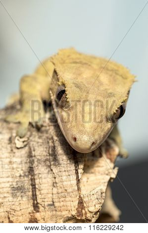 Face Of A New Caledonian Crested Gecko