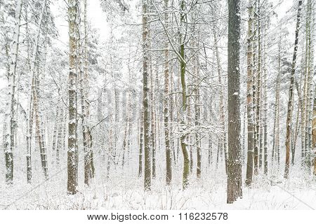 Forest After Snowfall. Winter Landscape.