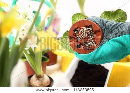 Roots, repotting houseplants.