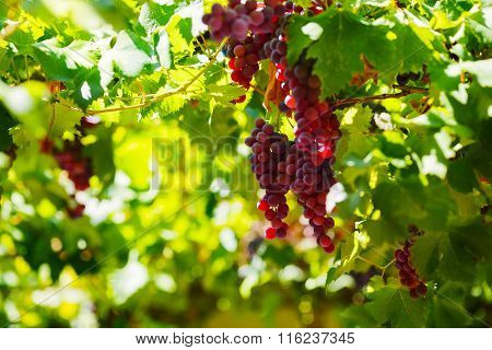 Bunches Of Red Wine Grapes Hanging On The Wine In Late Afternoon Sun.