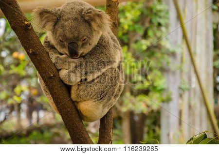 Koala On A Trunk
