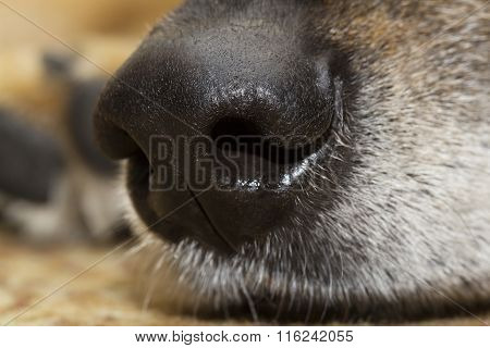 Extreme closeup of a shepherd dog's nose