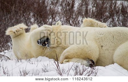 Polar Bears wrestling in the snow