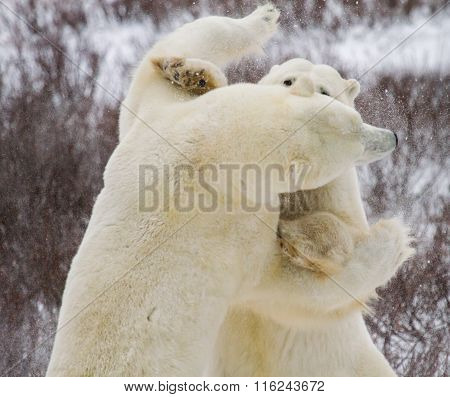 Two Polar Bears Fighting standing biting