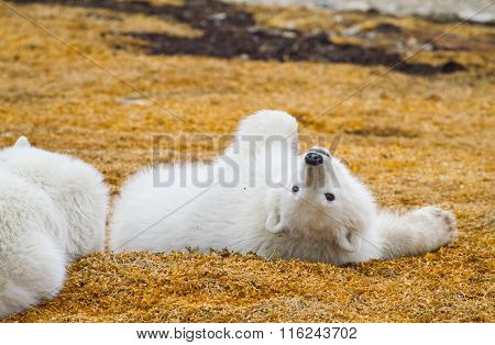 Polar Bear Cub Playing