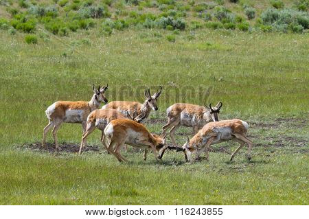 Pronghorn Antelope Sparring While Other Bucks Watch