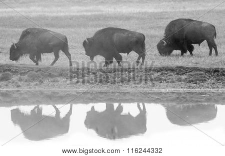Three Bison Profile And Reflection