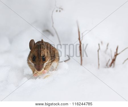 Cute Little Wood Mouse On Winter Snow